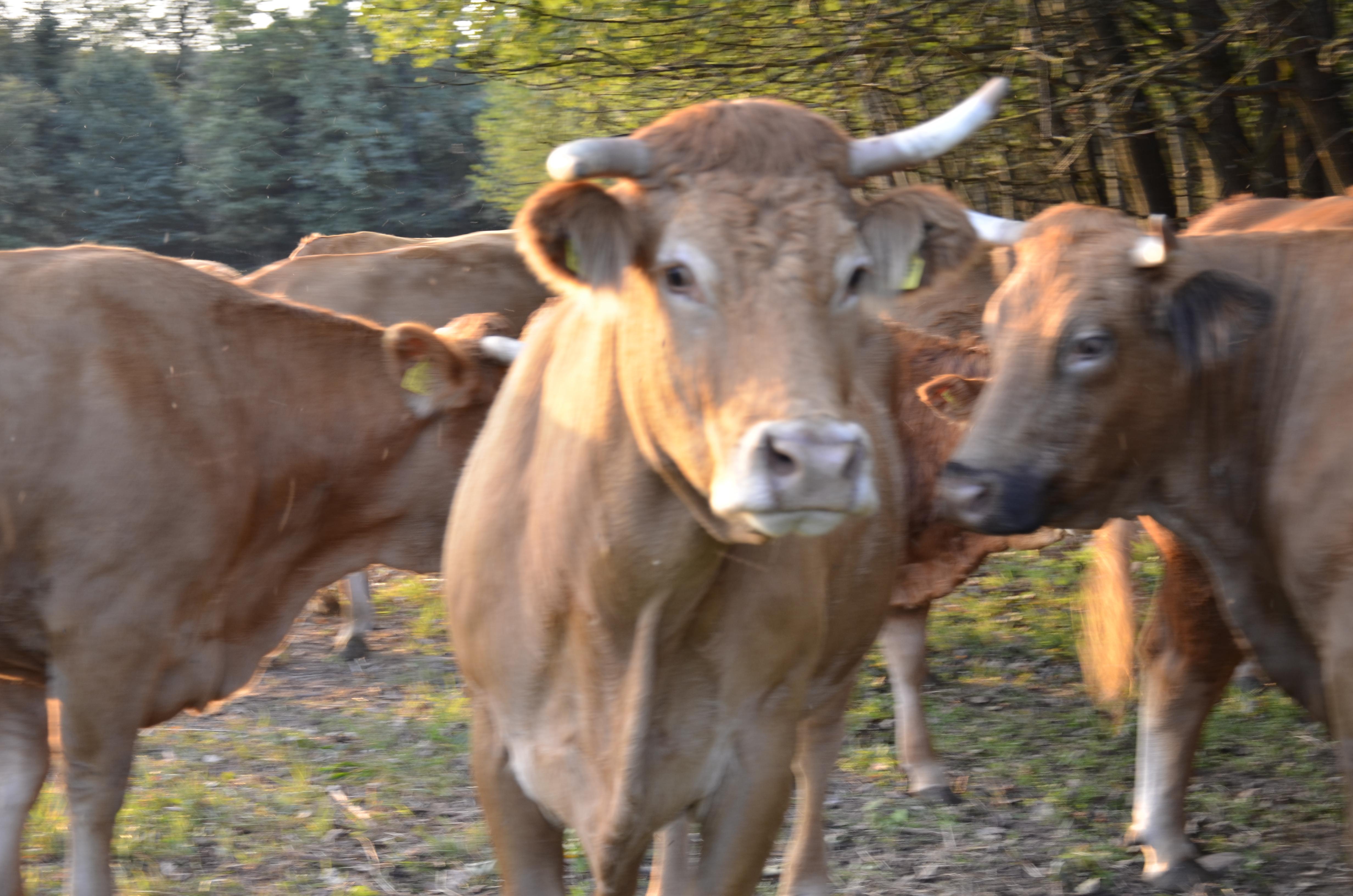 Rinder in Grunbach